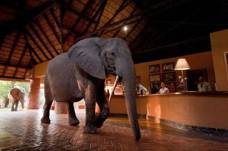 Hoog bezoek Mfuwe Lodge South Luangwa National Park Zambia