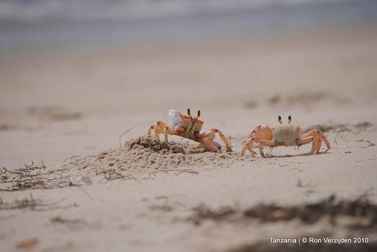 Krabbetjes op strand Pangani Tanzania