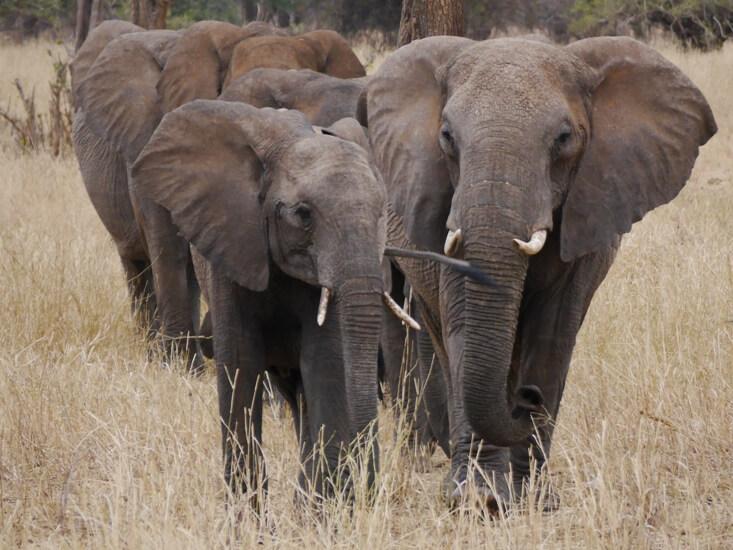 Kudde olifanten in Tarangire National Park Tanzania