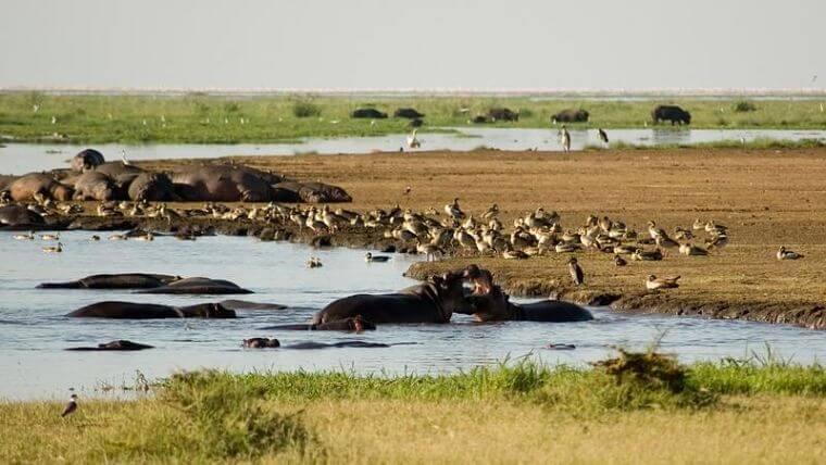 Nijlpaarden in Lake Manyara National Park Tanzania