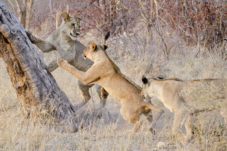 Leeuwen bij Kwara Camp Okavango Delta Botswana