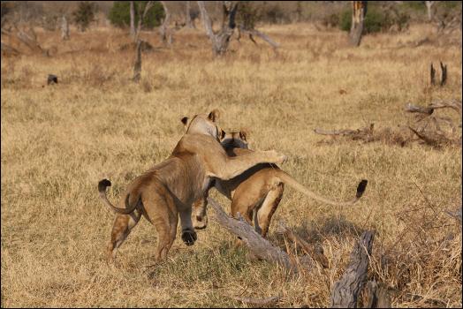 Leeuwen in Okavango Delta Botswana