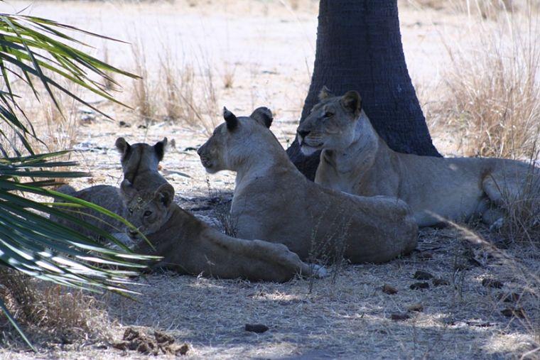 Leeuwenfamilie Selous Game Reserve Tanzania