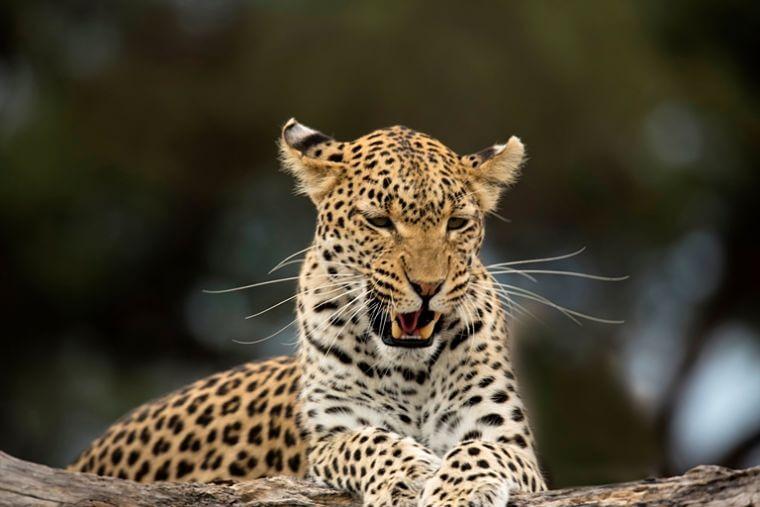 Luipaard Khwai Community Area Botswana