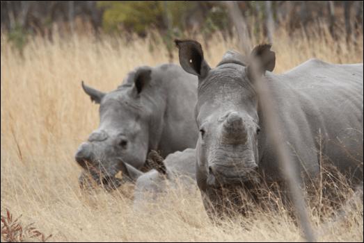 Neushoorns Matobo National Park Zimbabwe