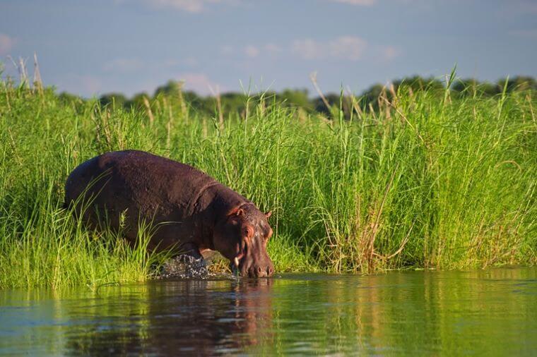 Nijlpaard Zambezi river Lower Zambezi National Park Zambia