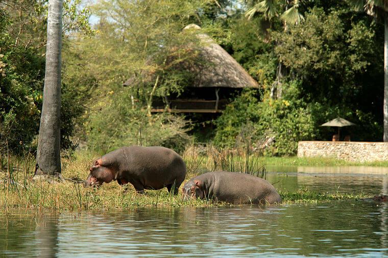 Nijlpaarden bij Mvuu Lodge Liwonde National Park Malawi
