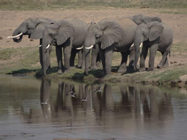 Olifanten aan de Ruaha rivier in Ruaha National Park Tanzania
