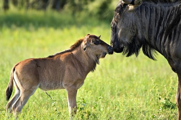 Pasgeboren gnoe in Serengeti eco-systeem Tanzania