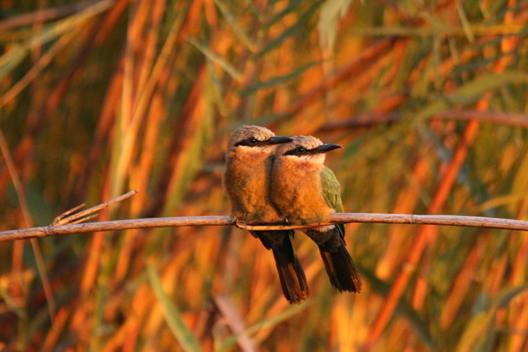 White Fronted Bee Eaters in Okavango Delta Botswana