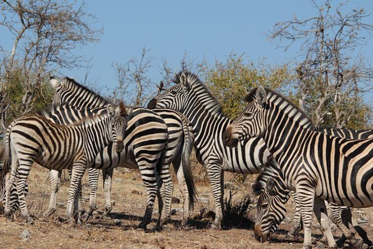 Zebra's bij Chobe Riverfront Botswana