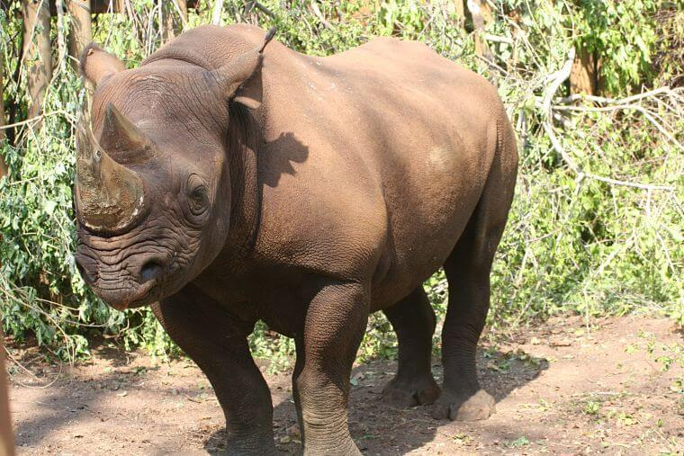 Zwarte neushoorn Majete Wildlife Reserve Malawi