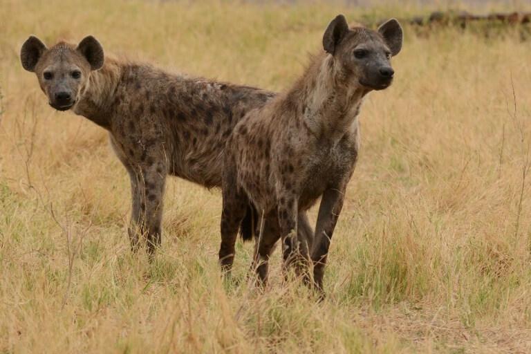 Hyena's Moremi Game Reserve Botswana