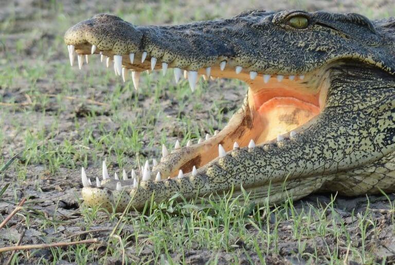 Krokodil in Khwai River Moremi Game Reserve Botswana