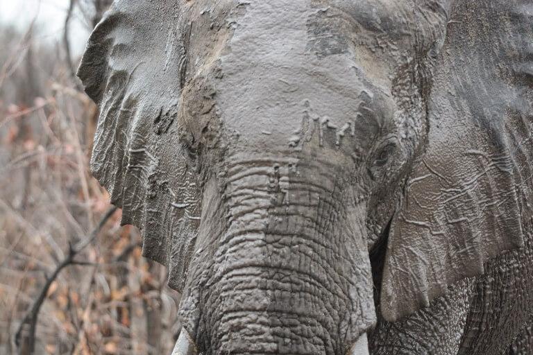 Olifant Ghoha Hills Savuti Botswana