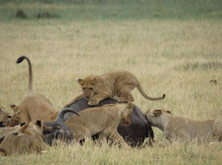 Leeuwen met buffel Savuti Botswana
