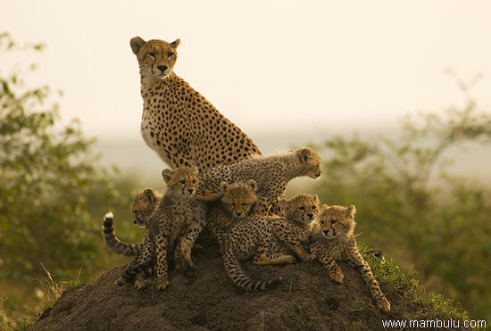 Cheetah familie in Serengeti National Park Tanzania