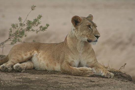 Leeuw in Tarangire National Park Tanzania