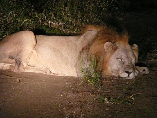 Leeuw in Majete Wildlife Reserve Malawi