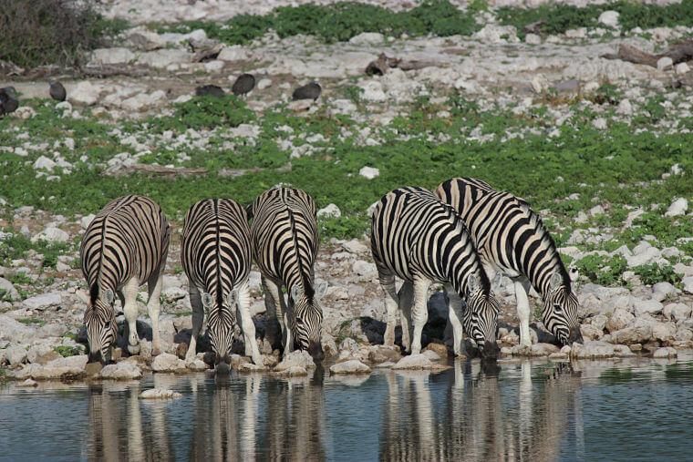 Zebra's bij waterhole in Etosha National Park Namibië