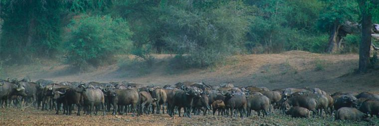 Buffels in North Luangwa National Park Zambia