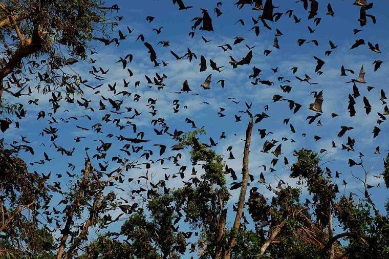 Miljoenen vleermuizen in Kasanka National Park Zambia