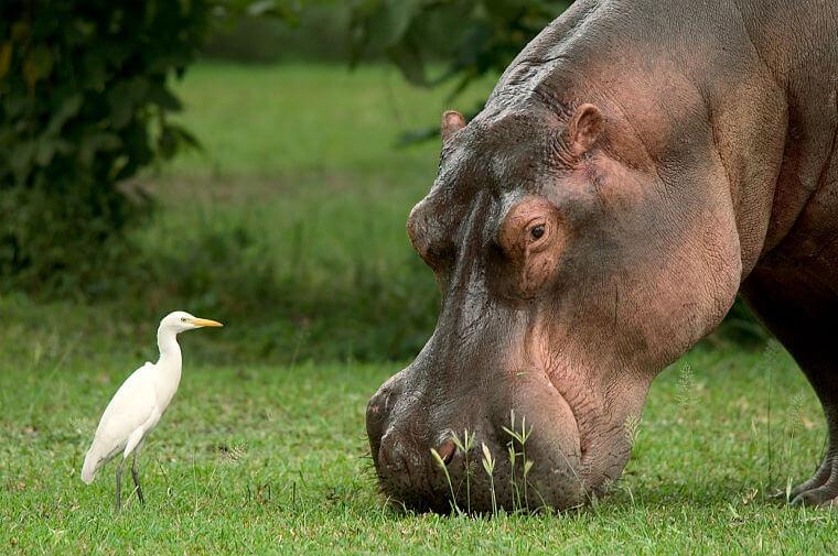 Nijlpaard in Liwonde National Park Malawi
