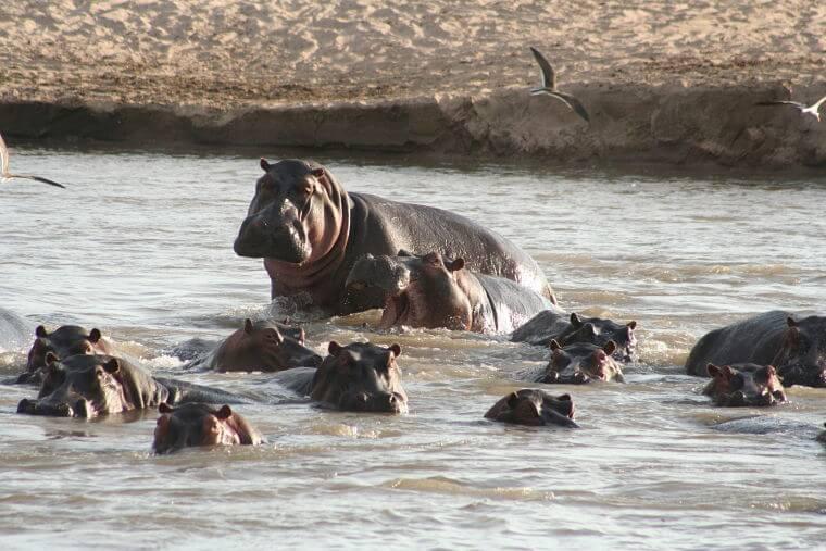 Nijlpaarden in Luangwa rivier North Luangwa National Park Zambia