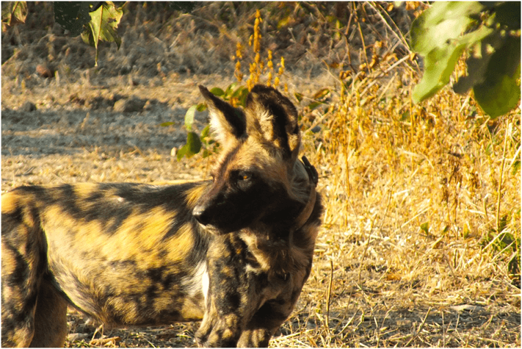 Afrikaanse wilde hond in South Luangwa National Park Zambia