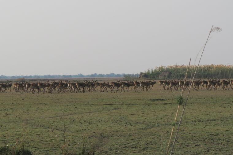 Grote kuddes Black Lechwes bij Bangweulu Wetlands Zambia