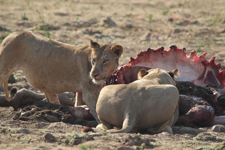 Leeuwen South Luangwa National Park Zambia doen zich te goed aan nijlpaard