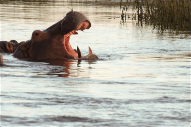 Nijlpaard in Zambezi rivier Zambia
