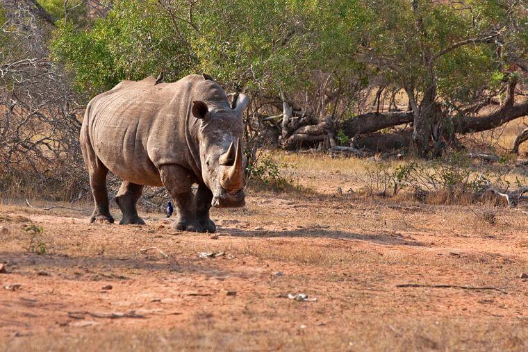 Witte neushoorn in Kruger National Park Zuid-Afrika