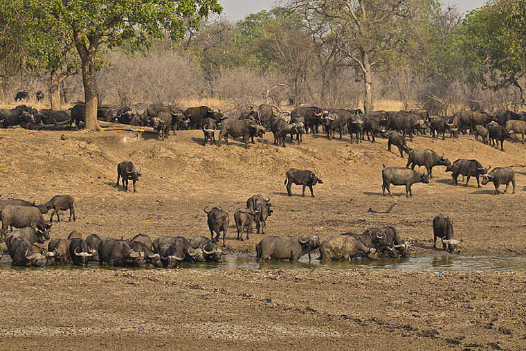 Buffels in South Luangwa National Park Zambia