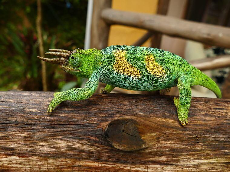 Bijzondere Ruwenzori driehoorn kameleon in Uganda