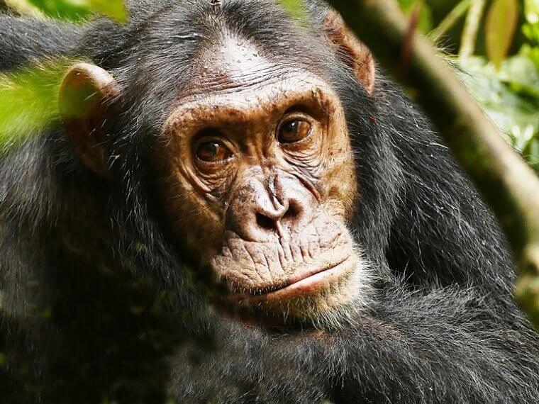Chimpansee tracking in Kibale Forest National Park in Uganda