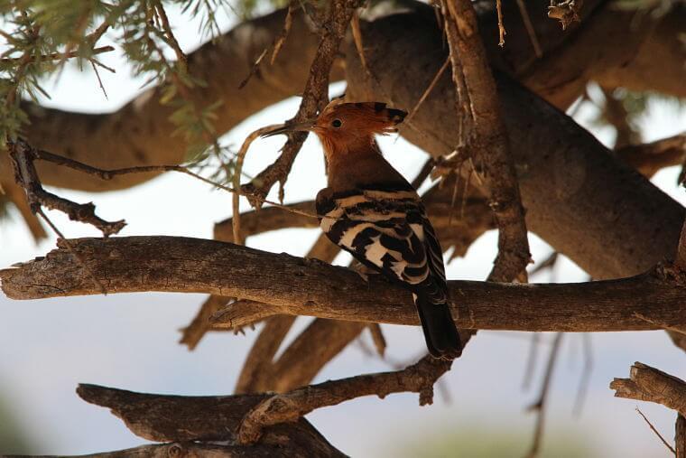 African hoopoo in Onguma Game Reserve bij Etosha in Namibië
