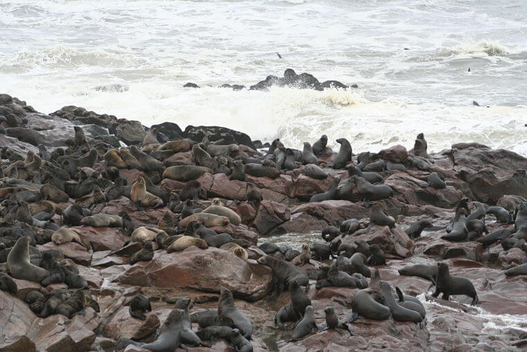 Duizenden zeeleeuwen bij Cape Cross in Namibië