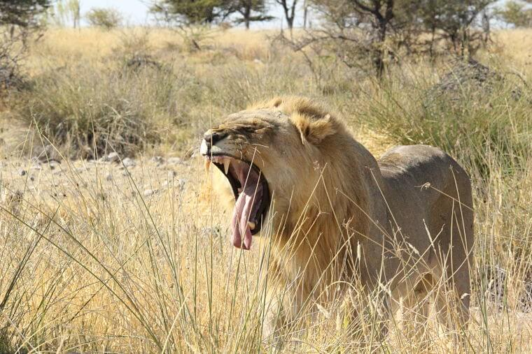 Leeuw in Etosha National Park Namibië