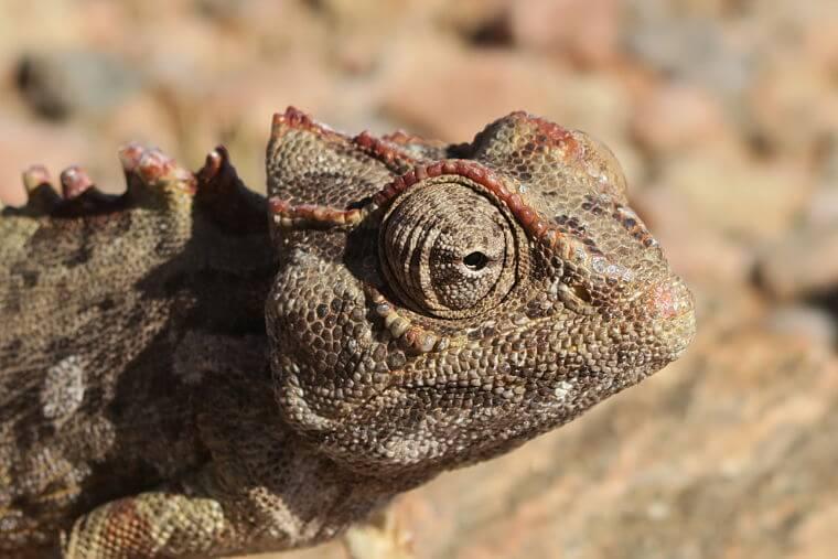 Kameleon in Kaokoland in Namibië
