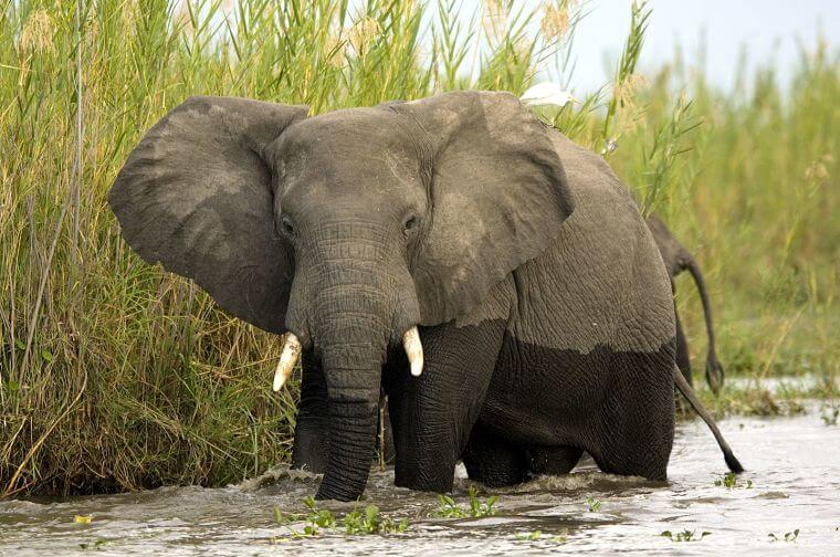 Olifanten verhuizen van Liwonde National Park naar Nkhotakota Wildlife Reserve in Malawi