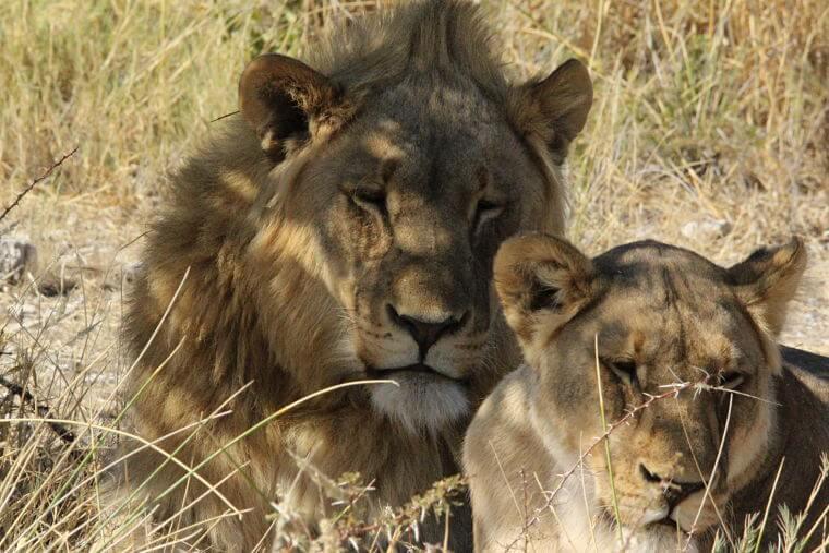 Selfdrive safari leeuwen in Etosha National Park Namibië