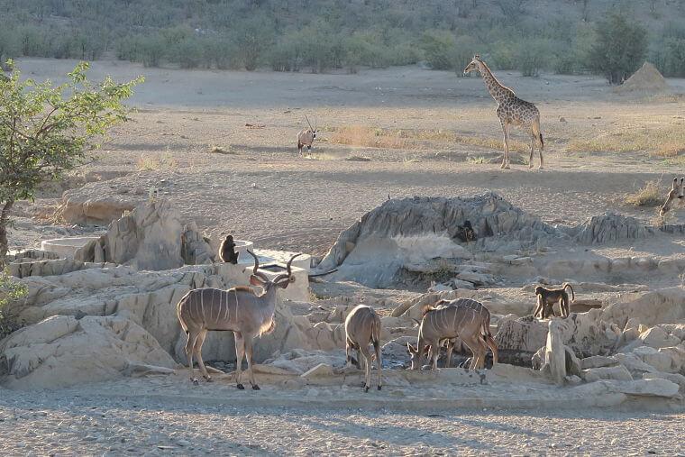 Wild spotten bij Hobatere Lodge Namibië