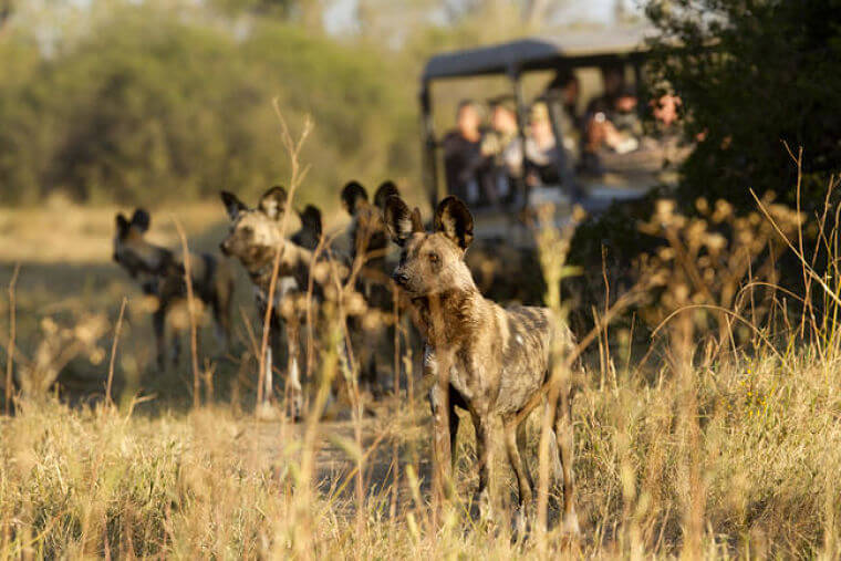 African Wild Dogs Khwai Community Area