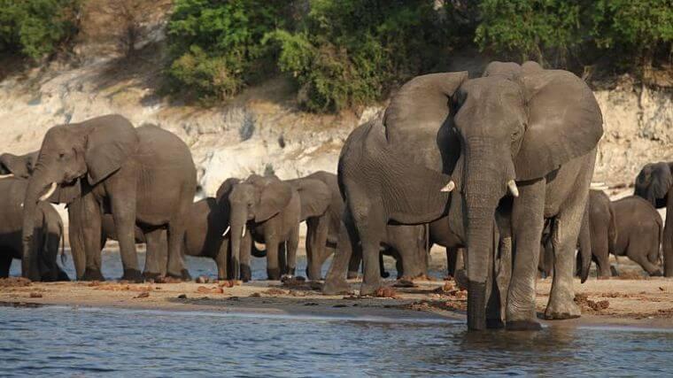 Chobe Riverfront grote kuddes olifanten