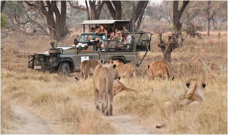 Khwai Community Area game drive met veel leeuwen