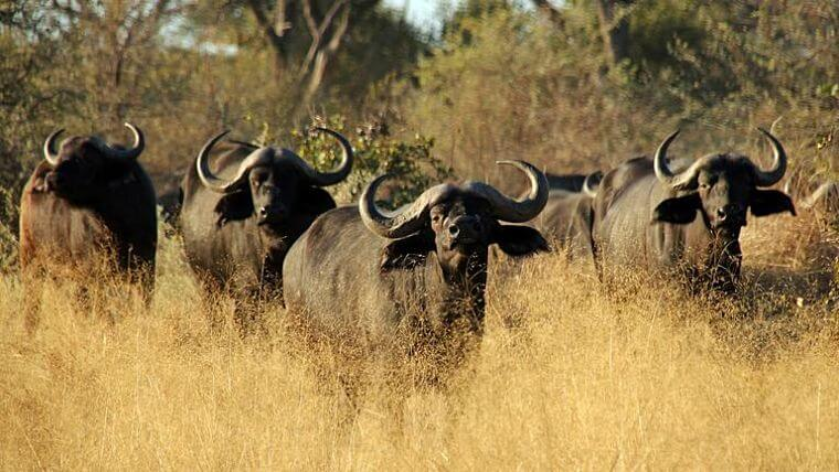 Moremi Game Reserve grote kuddes buffels