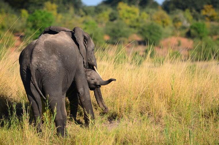 Olifanten in Chobe National Park