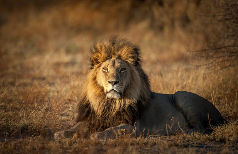 Trotse leeuw in Okavango Delta Botswana