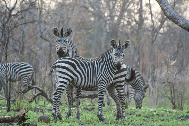 Zebra's in Majete Wildlife Reserve in Malawi